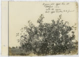 3 Year Old Apple Tree at Littlefield 1916. Note the apples. Best apple county to be found