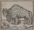 [Illustration of the American bison]