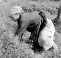 Cutting clover, Caserta, Summer 1944