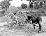 Donkey and cart, Naples, 1944