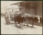 [Mexican ox cart]