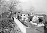[Hereford Cattle at Feeding Trough, Abercrombie Ranch, James Smither Ambercrombie]