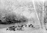 [Herd of Cattle by Creek, Abercrombie Ranch, James Smither Ambercrombie]