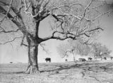 [Hereford Cattle Grazing, Abercrombie Ranch, James Smither Ambercrombie]