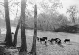 [Herd of Cattle, Grazing by Creek, Abercrombie Ranch, James Smither Ambercrombie]